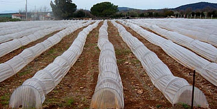 Campo coltivato di asparago verde a Canino. Cooperativa COPA.