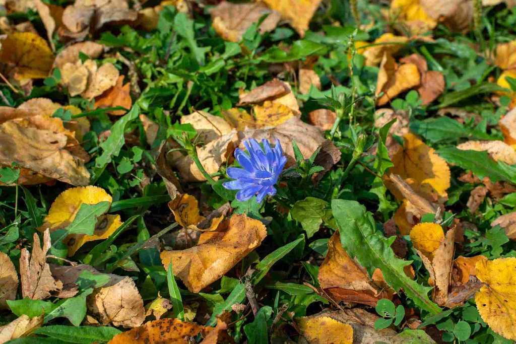 Immagine della cicoria selvatica in natura, riconoscibile dai fiori color indaco e dalle sue foglie dentate