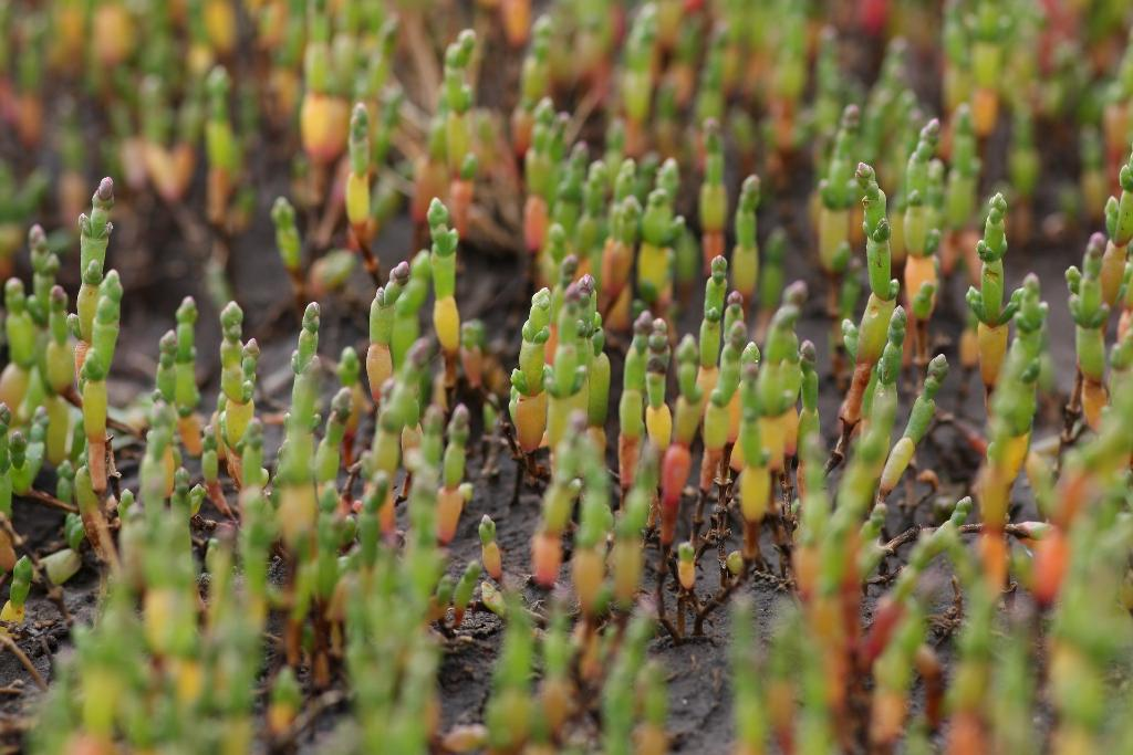 Un gruppo di salicornia, pianta succulenta annuale che cresce nei territori costieri e paludosi del Lazio